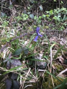 An early Bluebell in Weethley Woods